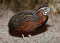 Harlequin Quail (Coturnix delegorguei) in Australia. Button Quail, Raising Quail, Cardinal Birds, Australian Birds, Funny Birds, Draw On Photos, Bird Pictures, Birds Pics, Game Birds