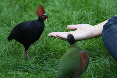 Crested Wood Partridge (Rollulus roulroul)