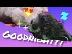 Bringing Itchy Back - YouTube Shih Tzu, Bring It On, Pets, Youtube, Animals, Animales, Animaux, Animal, Animais