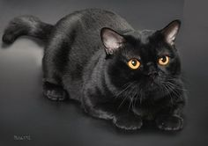 Bombay cat, my favorite breed.  I want a black cat to match my personality.  Not just any black cat.  Just the Bombay.