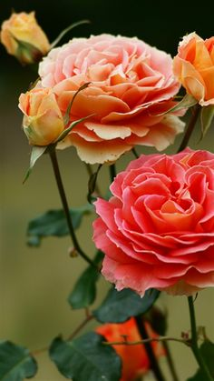 How how I would love to have a green thumb like my sister! I love plants and flowers but they never seem to love me... - Coral colored Roses