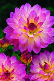 Dahlia 'Pink Attraction' og alt om dyrkningen