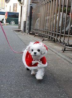 「 今年最後のずんずんカレンダーは…サンタクローずん♪ 」の画像|マルチーズ ブログ あまずのズンズン日記|Ameba (アメーバ)