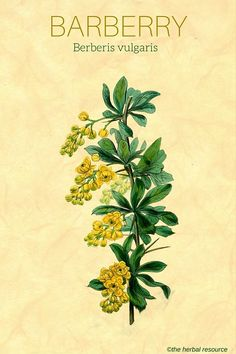 Information on the Health Benefits and Side Effects of the Herb Barberry (Berberis vulgaris) and Its Traditional and Medicinal Uses