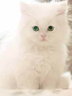 Frivolous Fabulous - Glamorous Frivolous Fabulous Kitten