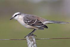 Photos of Mockingbirds / Calandrias - Mimidae - Argentina Tropical Birds, Colorful Birds, Love Birds, Beautiful Birds, Mocking Birds, Thrasher, Fauna, Bird Watching, Natural Wonders