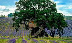 A centuries-old majestic oak is home to Suite Bleue, one of two tree houses at La Piantata Bed & Breakfast in Italy's northern Lazio region. The simple red-cedar building was constructed in France by the Provence-based specialty firm La Cabane Perchée and transported to a sprawling field of lavender on the resort's estate.  Guests can explore the property's olive grove, pick fruits and vegetables from the garden, and enjoy homemade lavender honey, jam, balsamic vinegar, and lavender craft…