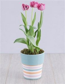 plants: Purple Tulip Plant in Striped Pot! Same Day Delivery Service, Planting Tulips, Purple Tulips, Perfect Plants, Planter Pots, Gifts, Presents, Favors, Gift