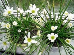 Комнатные растения фото и названия: Цветок Зефирантес - уход в домашних условиях