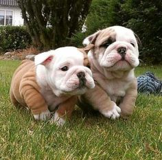 The major breeds of bulldogs are English bulldog, American bulldog, and French bulldog. The bulldog has a broad shoulder which matches with the head. The skin of the bulldog is thick and folded on its Cute Baby Dogs, Cute Dogs And Puppies, Doggies, Baby Pugs, Funny Puppies, Corgi Puppies, Funny Dogs, Mastiff Puppies, Adorable Puppies