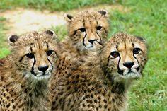 Cheetah Conservation Fund, Namibia  The Stars: Phoenix, Soraya and Quasar