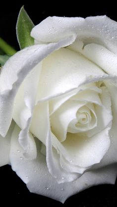 White Rose||#roses खूबसूरत Photograph खूबसूरत PHOTOGRAPH |  #WHATSAPP #EDUCRATSWEB | In this article, you can see photos & images. Moreover, you can see new wallpapers, pics, images, and pictures for free download. On top of that, you can see other  pictures & photos for download. For more images visit my website and download photos.