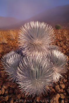 Kau silversword, Argyroxiphium kauense, Mauna Kea, Hawaii