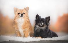 Download wallpapers Chihuahua, cute dogs, pets, black Chihuahua, small dogs