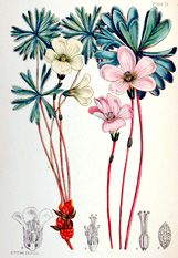 Illustrations of the Flowering Plants and Ferns of the Falkland Islands