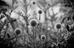 Image result for echinops in winter Dandelion, Winter, Garden, Flowers, Plants, Image, Winter Time, Garten, Dandelions