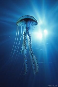 Jellyfish is one of the most enigmatic and mystifying aquatic creatures found in the world. With this article, explore some interesting facts & amazing information on jellyfish. Underwater Creatures, Ocean Creatures, Vida Animal, Blue Jellyfish, Umbrella Jellyfish, Jellyfish Sting, Curious Creatures, Deadly Creatures, Deadly Animals