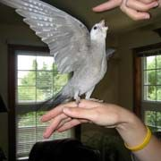 Cockatiels, Taming and Biting, How to tame cockatiels, How to stop a cockatiel from biting.