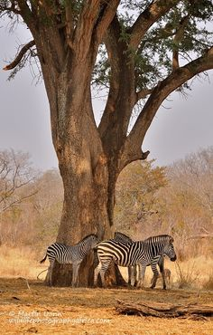 Plains Zebras - Plains zebras beside Acacia Albida tree