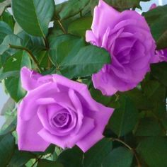 'Angel Face' Climbing Roses