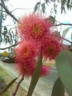 Mottlecah (Eucalyptus macrocarpa) in full blossum. Common in Melbourne's suburbs.