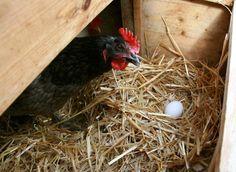 Soluciones para los problemas comunes en la granja de gallinas: Problemas de postura en la gallina ponedora: no pone huevos, gallina culeca