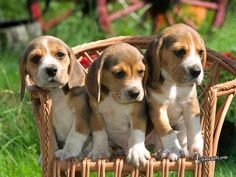 Beagles are cute and delicious? |