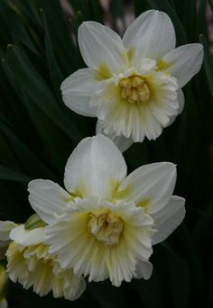 Daffodil 'Double Ice Follies'