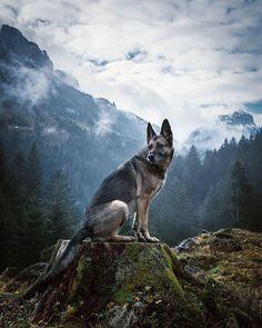 """6,655 kedvelés, 22 hozzászólás – German Shepherd Dog (GSD) (@gsdstagram) Instagram-hozzászólása: """"Wow!!  Follow Cadiz @stevehadorn  Use #gsdstagram to be featured! """""""