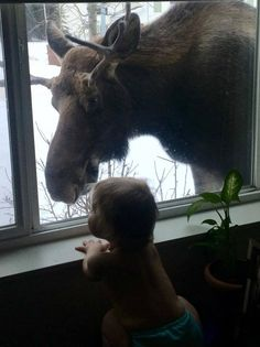 Moose Deer, Bull Moose, Animals For Kids, Animals And Pets, Cute Animals, Moose Pictures, Animal Pictures, Beautiful Creatures, Animals Beautiful