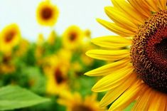 Sunflower ( © Thaimonkey)