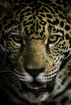 A portrait of Valerio, a young jaguar cub. A joy to watch, he grows more handsome each visit. Big Cats Art, Cat Art, Jaguar Pictures, Jaguar Wallpaper, Animals And Pets, Cute Animals, Cat Empire, Leopard Tattoos, Magnificent Beasts