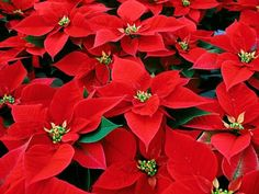 Poinsettia care is important for keeping your plant looking great all season long! Learn about the history and our top poinsettia care tips. Palmers Garden Centre, Bloom Book, Poinsettia Plant, Star Of Bethlehem, Christmas Cactus, Flowering Shrubs, Winter Flowers, Star Flower, Plant Needs