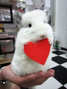 Chinchilla love!  Chinchillas are the greatest...we have 8 cute fur balls!  Chili, Pepper, Kiwi, Snowball, Daisy, Freckles, Mocha & Peek-a-Boo.