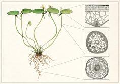 IL·LUSTRACIÈNCIA: Anatomía vegetal  -  Laura Macías Álvarez