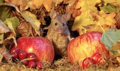 When wildlife photographer, Simon Dell came across an adorable mouse family, he knew he had just found photography gold. Baby Mouse, Cute Mouse, Jack Russell Terrier, Perros Jack Russell, Village Miniature, Miniature Houses, Mouse Photos, House Sparrow, Reserva Natural