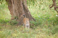 amazing encounter with Sri Lankan leopard