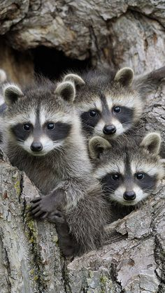 Animals For Kids, Cute Baby Animals, Animals And Pets, Funny Animals, Woodland Creatures, Woodland Animals, Mundo Animal, My Animal, Baby Raccoon
