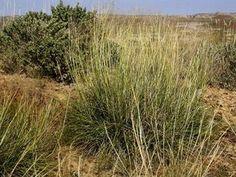 California grass adds movement to dry garden