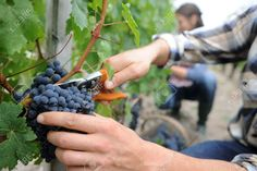 Grape Harvesting Stock Photos, Pictures, Royalty Free Grape ...
