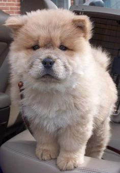 CHOW CHOW - another puppy on my wish list...:)