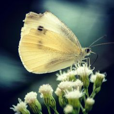 White Cabbage Butterfly #summer #2015 #butterfly #flower #photo #photographer #canon #t6i #backyard #insect #macro #closeup