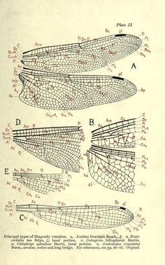 Principal types of Dragonfly venation. 1917.