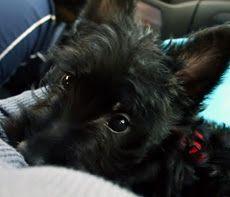 Scottie puppy!