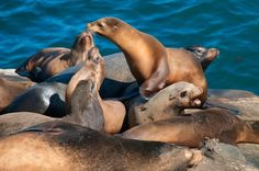 """Forty-four years after passage of the Marine Mammal Protection Act (MMPA), the population of smart, muscle-bound sea lions has climbed to almost 300,000. That's a far cry from the 1930s and 1940s, when these animals dipped to less than 20,000 and may have numbered as few as 10,000. For a fish-eating critter once slaughtered for dog food, its blubber sold for oil and its whiskers used as tobacco pipe cleaners, that is a stunning comeback. """"Sea lions now feast on so many endangered fish that…"""