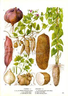Sweet Potato Yam Vegetable Plant Flowers Food Chart Vegetable   Etsy