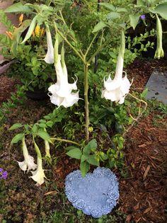 19 best angel trumpet flowers images on pinterest angel trumpet double white angel trumpet by lilli lee mightylinksfo