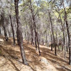 Los efectos del verano en un bosque de pinos.