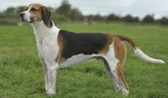English Foxhound side view