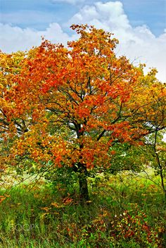 Autumn+maple+tree+-+Beautiful+maple+tree+with+red+foliage+in+early+fall